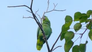 Green Parrot Calling