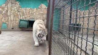 huge dangerous runaway tiger handsome