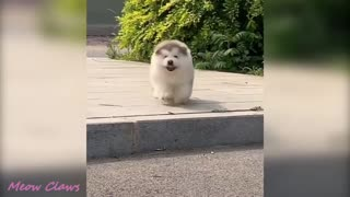 Baby Alaskan Malamute Cutest and Funniest Moments New Compilation 😍| Try Not To