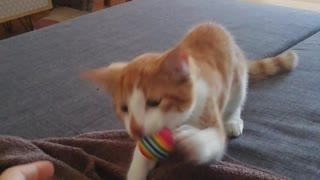 Crazy kitten is obsessed with playing fetch