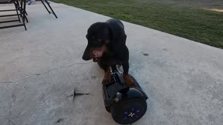 Dachshund Takes a Spin on a Hoverboard