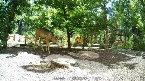 Deer Eating Apples in my Backyard!