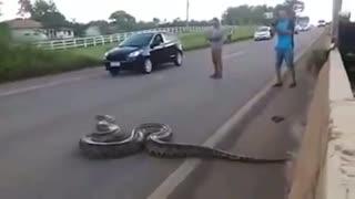 Anaconda snake seen crossing highway