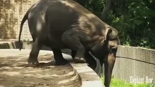 Elephant Trying To Bring Food Hard.