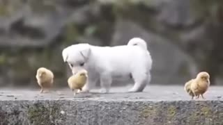 Cute puppy Playing With chikens💗