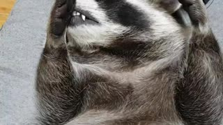 Raccoon wants massage
