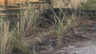 Huge Alligator Strides By