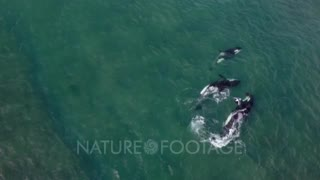 Pod of Orcas tearing apart a captured sea lion pup,bloody scene,4K Aerial