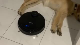 Golden Retriever Not Bothered by Robot Vacuum