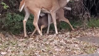 Baby deer gut-punches momma!