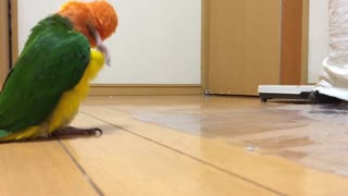 Adorable Parrot -Silly Walk