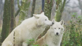 Seeing these wolves is amazing