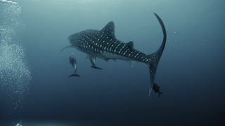 Whale Shark with Dolphin Duo