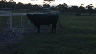 Territorial bull calling out