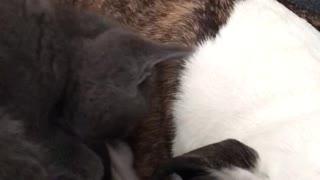 Kitten trying to wake dog up