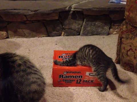 Curious kittens play in Ramen box
