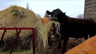 Gigantic bull comically stuffs his face withhay