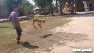 Assustando cachorro com tigre falso