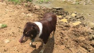 Australian shepherd playing in a pond