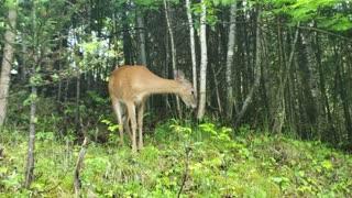 Deer Eating Leaves From a Tree