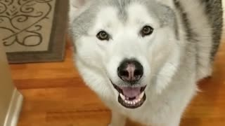 This husky is still hungry after dinner and snacks
