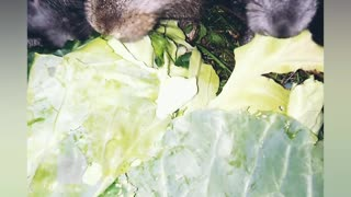 CUTE RABBITS eat cabbage