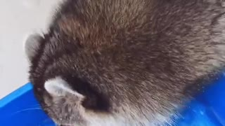 Raccoon Drinking from a Cup