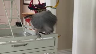 parrot shakes head to music - parrot shakes its head