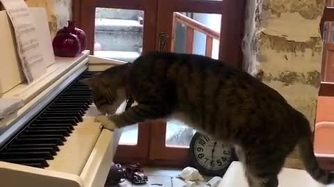 cat plays owner's white piano - cat plays the piano while owner is at work