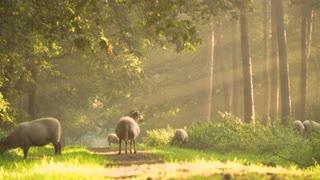 sheep and nature
