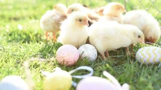Cute Small Chicks