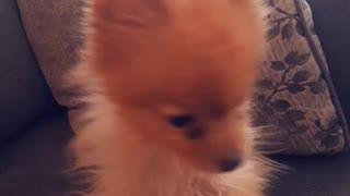 Cute pomeranian says I woof you