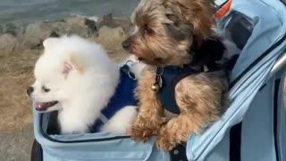 Adorable dogs enjoy being walked in a pram