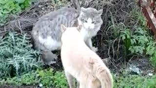 Cat Fight over territory.