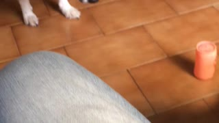 Border collie playing with toy