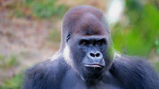very amazing watch how gorillas eat carrots