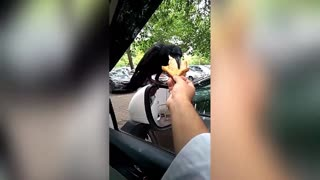 Friendly wild crow allows human to hand-feed it