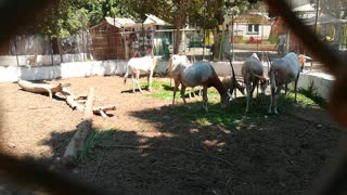 Hungry African Family Of Horned Oryx