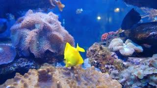 Fish yellow,