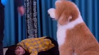 Gigantic Fluffy Poodle