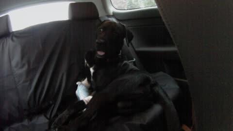 Stoned Dog after leg surgery
