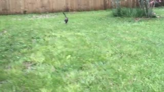 Cat and dog chase frisbee