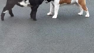 Bulldog and Pygmy Goat Make Best Buddies