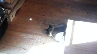 Cat Chasing Light