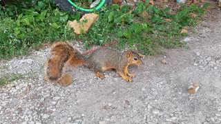 My Wife the Squirrel-Whisperer: Attempt #1 (Nilwood, IL USA)