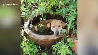 Dog relaxes in pot filled with water to cool down on hot afternoon in Thailand