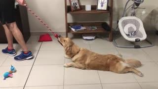 Golden Retriever Loves Getting Dragged Across The Floor