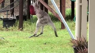 Wild Kangaroo Joey Playing with a Swing