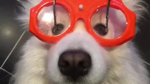Samoyed wears wiper glasses for rainy day playtime