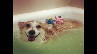 Funny Dogs Love Swimming Puppy Videos